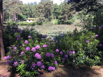 Glorious rhododendrons in full bloom in June